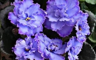 Описание и выращивание сорта фиалки «Голубой дракон»