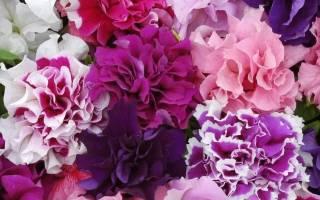 Петуния «Пируэт»: описание и выращивание сортов