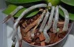 Можно ли обрезать корни орхидеи, которые вылезли из горшка, и как это сделать?