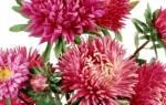 Все об астрах: от сортов до секретов выращивания