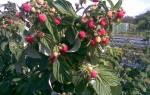 Черенкование малины осенью