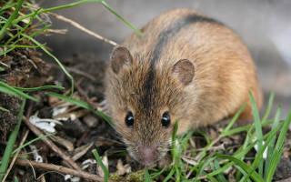 Как вывести мышей с дачного участка