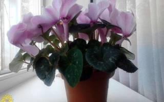 Цветок цикламен как ухаживать в домашних условиях