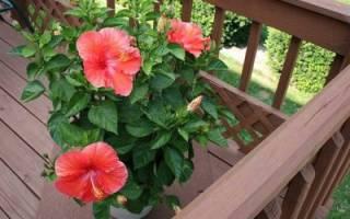 Комнатные цветы гибискус уход в домашних условиях