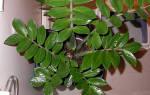 Валютное дерево уход в домашних условиях