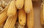 Как вырастить кукурузу в подмосковье