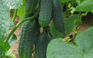Огурцы в зимней теплице технология выращивания