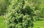 Каштан дерево посадка и уход