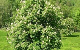 Когда сажать каштан весной или осенью