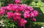 Пионы «Карл Розенфельд»: описание сорта и особенности его выращивания