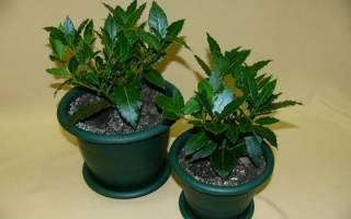 Как вырастить лавровое дерево в домашних условиях