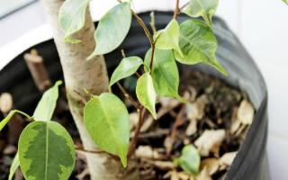 Фикус бенджамина теряет листья что делать