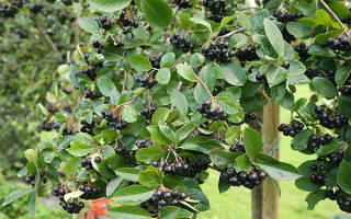 Черноплодная рябина посадка и уход размножение
