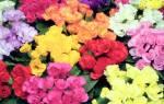 Примула «Розанна»: разновидности и правила их выращивания