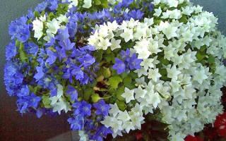 Цветок кампанула уход в домашних условиях