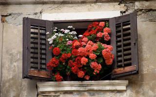 Домашние цветы герань как правильно ухаживать