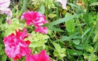 Петуния «Валентина»: описание сорта и советы по уходу