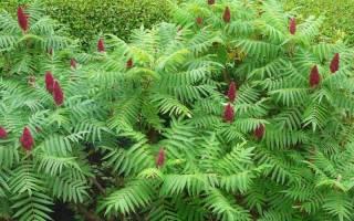 Уксусное дерево в ландшафтном дизайне