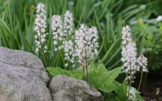 Тиарелла: описание, сорта, выращивание