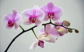 Все о цветоносе орхидеи