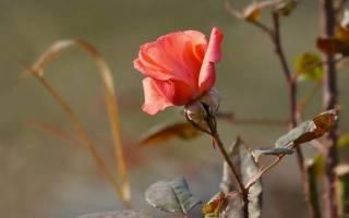 Обрезка роз на зиму в подмосковье