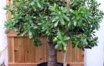 Как правильно поливать денежное дерево в домашних условиях?