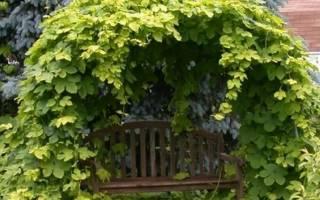 Как посадить хмель на даче