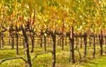 Как обрезать заросший виноград осенью