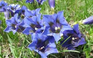 Цветы горечавка многолетняя