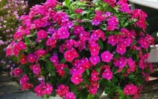 Катарантус: описание, сорта, нюансы выращивания