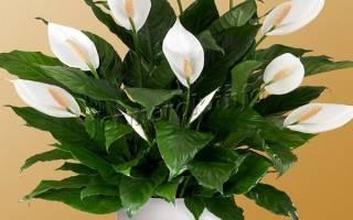 Цветок спатифиллум («женское счастье»): виды, уход и размножение