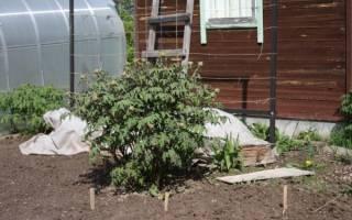 Как ухаживать за пионами весной