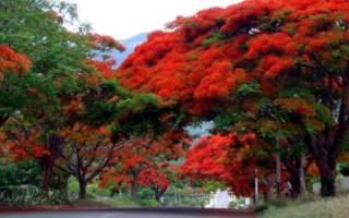 Огненное дерево делоникс королевский