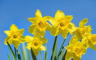 Желтые нарциссы: популярные сорта и советы по уходу