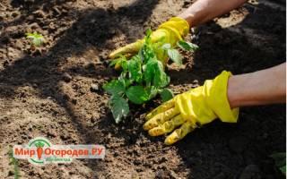 Как вырастить маточный корень малины