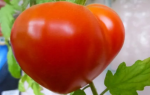 Лучшие сорта желтых томатов для теплиц