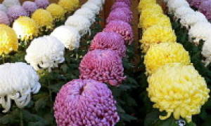 Выращивание хризантемы в теплице на срез