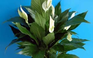 Почему не цветет спатифиллум что делать