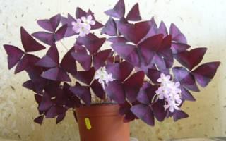 Кислица фиолетовая: особенности и правила ухода