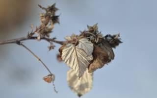 Надо ли обрезать ремонтантную малину осенью