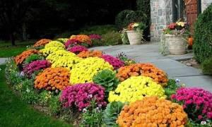 Когда пересаживать хризантемы весной или осенью