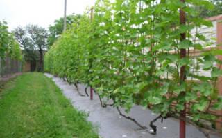 Обрезание винограда весной