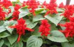 Выращивание цветов сальвия красная
