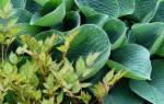 Голубая хоста: сорта и их выращивание