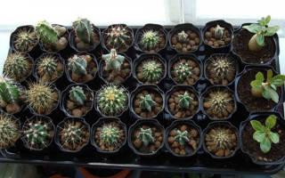 Как вырастить кактус из семян в домашних условиях?