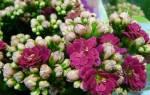 Каланхоэ «Каландива»: виды и тонкости выращивания