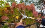 Надо ли обрезать гортензию осенью