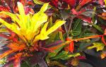 Комнатный цветок кротон как ухаживать