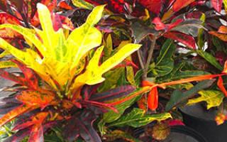 Цветок кратон как ухаживать