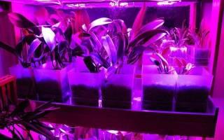 Орхидея онцидиум: описание, виды и уход